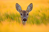 Roebuck (Capreolus capreolus) portrait at sunset, Slovakia
