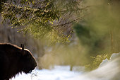 European Bison (Bison bonasus) in cold morning, Romania