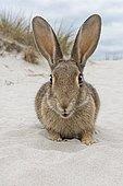 Wild rabbit, (Oryctolagus cuniculus), beach dunes, Mecklenburg-Western Pomerania, Germany, Europe