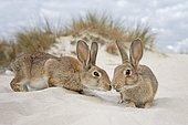 Wild rabbits (Oryctolagus cuniculus), beach dunes, Mecklenburg-Western Pomerania, Germany, Europe