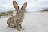 Wild rabbit (Oryctolagus cuniculus), beach dunes, Mecklenburg-Western Pomerania, Germany, Europe
