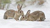 European or common rabbits (Oryctolagus cuniculus), couple on Baltic Sea dunes, Mecklenburg-Western Pomerania, Germany, Europe