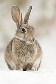 European or common rabbit (Oryctolagus cuniculus), buck on Baltic Sea dunes, Mecklenburg-Western Pomerania, Germany, Europe