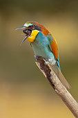 European bee-eater (Merops apiaster) regurgitate a pellet, Aigüamolls del Empordà Natural Park, Spain