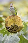 Conure veuve (Myiopsitta monachus) mangeant des graines de tournesol dans un champ, Parc Naturel Aigüamolls del Empordà, Espagne. C'est une espèce invasive causant beaucoup de problème aux agriculteurs.