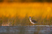 Black-winged stilt (Himantopus himantopus) chick at sunrise in water, Aiguamolls de l'emporda Natural Park, Spain