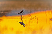 Black winged stilt(himantopus himantopus) in water, Aiguamolls de l'empordà wethlands at sunrise, Spain