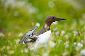 Common guillemot (Uria aalge), in Saltee Islands, Ireland