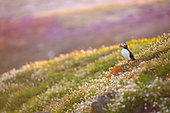 Atlantic puffin (Fratercula arctica) waiting is couple in Saltee Islands, Ireland