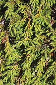 Siberian Juniper (Juniperus sibirica), Vanoise National Park, France