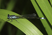Southern Damselfly (Coenagrion mercuriale) on reed leaf, Finistere, France