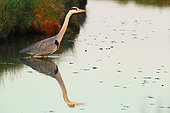Gray Heron (Ardea cinerea) fishing in water at dusk
