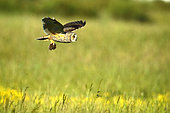 Long-eared Owl (Asio otus) adult in flight from capturing a vole