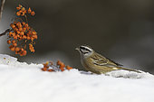 Rock Bunting (Emberiza cia) eating berries in the snow, Vanoise National Park, France
