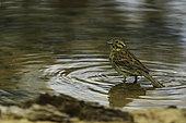 Bruant zizi (Emberiza cirlus) femelle au bain dans une mare forestière
