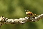 Bruant zizi (Emberiza cirlus) mâle sur une branche