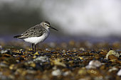 Dunlin (Calidris alpina) on the ground, National Nature Reserve of the Bay of Aiguillon, Vendée, France