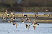 Eurasian Wigeon (Mareca penelope) with Northern Pintail (Anas acuta) and Common Teal (Anas crecca) in flight over a swamp, Bay of Mont Saint-Michel, France