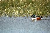 Northern Shoveler (Anas clypeata) male in water and Brackish Water-crowfoot (Ranunculus baudotii), Brenne, France