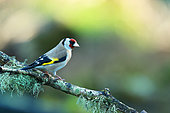 Goldfinch (Carduelis carduelis) on a branch