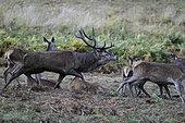 Cerf élaphe (Cervus elaphus) mâle testant des biches dans une clairière en automne