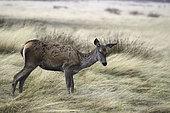 Red Deer (Cervus elaphus) hind in tall grass in autumn
