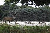 Cerf élaphe (Cervus elaphus) mâle et biches au repos dans une clairière en automne