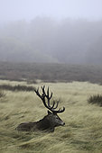 Red Deer (Cervus elaphus) male lying in tall grass in autumn