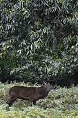 Cerf élaphe (Cervus elaphus) mâle dans une clairière en automne