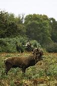 Cerf élaphe (Cervus elaphus) mâle bramant avec des fougères sur les bois dans une clairière en automne