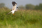 Montagu's Harrier (Circus pygargus) male in flight above a meadow