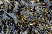 Green crab (Carcinus maenas) on algae, Passage du Gois, Vendée, France