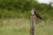 Common Cuckoo (Cuculus canorus) on a stake