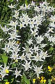 Edelweiss (Leontopodium nivale) in bloom, Vanoise National Park, Alps, France
