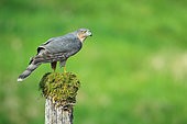European Sparrowhawk (Accipiter nisus) male on a mossy stake in a position of intimidation