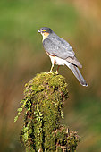 European Sparrowhawk (Accipiter nisus) male on a mossy stump
