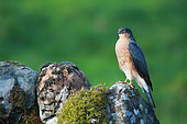 European Sparrowhawk (Accipiter nisus) male on a mossy rock