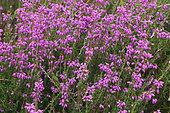 Dorset Heather (Erica ciliaris) in bloom, Lessay Heath, Manche, Normandy, France