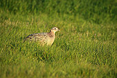 Ring-necked Pheasant (Phasianus colchicus) female in a meadow