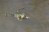 Lowland Frog (Pelophylax ridibunda) in the water with its inflated vocal bags