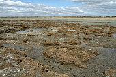 Hermelle (Sabellaria alveolatta) ver tubicole à marée basse