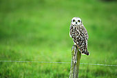Short-eared Owl (Asio flammeus) on a fence of a pasture, Marais poitevin, France