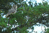 Long-eared Owl (Asio otus) at rest in Pine