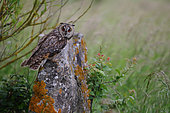 Long-eared Owl (Asio otus) adult on a rock