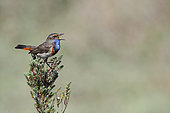 Bluethroat (Lucinia svecica) Male parading in spring in a salt meadow