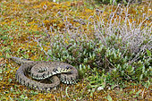 European Grass Snake (Natrix natrix helvetica) in a dune set, Landes, France