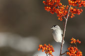 Blackcap (Sylvia atricapilla) male in a shrub with berries, France
