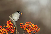 Blackcap (Sylvia atricapilla) male eating in a shrub with berries, France