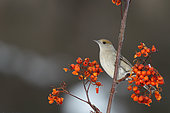 Blackcap (Sylvia atricapilla) female in a shrub with berries, France