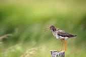 Redshank (Tringa totanus) alarming on a fence post